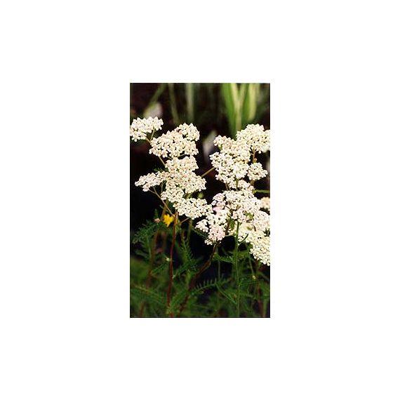 millefollium 'White Beauty'