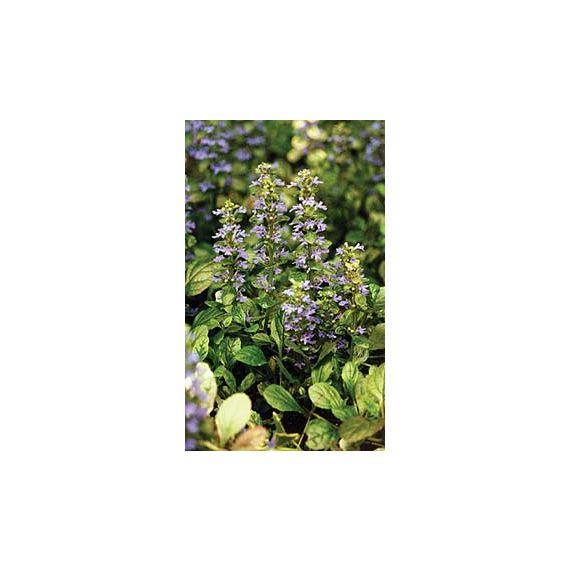 reptans 'Atropurpurea' (Rubra)