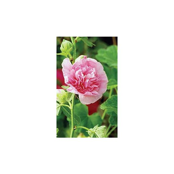 x 'Chater's Double' rose