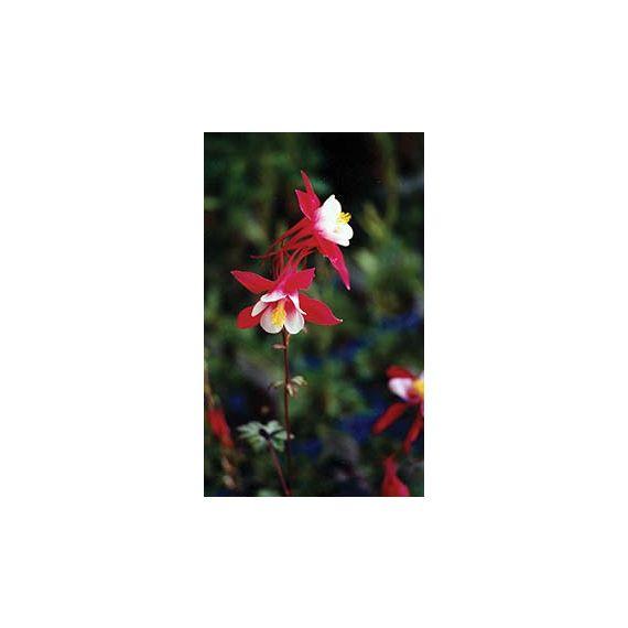 caerulea 'Crimson Star'