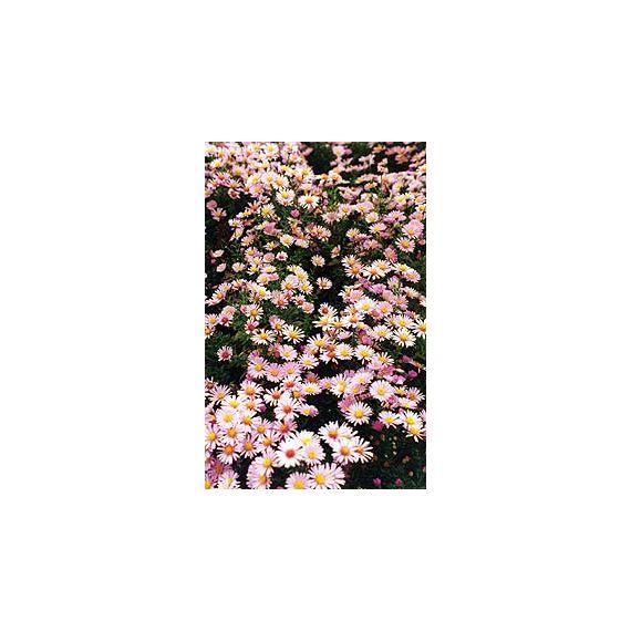 ASTER dumosus 'Rose Serenade'