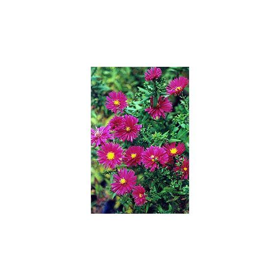 novi-belgii  'Crimson Brocade'