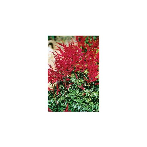 ASTILBE x arendsii 'Spinell'