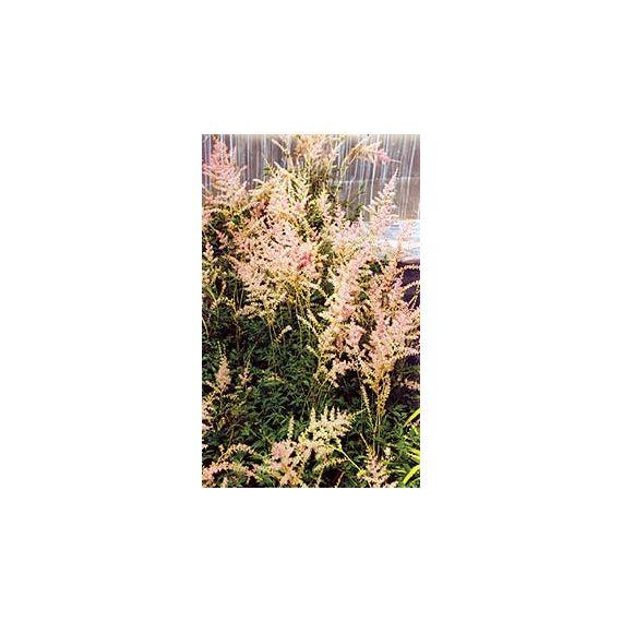 simplicifolia 'Sprite'