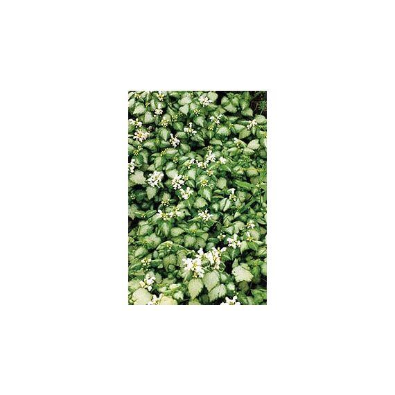 maculatum 'White Nancy'