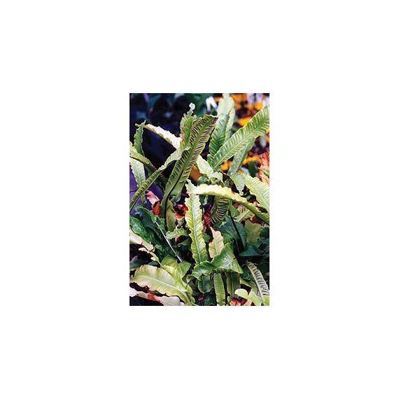 PHYLLITIS (ASPLENIUM) scolopendrium