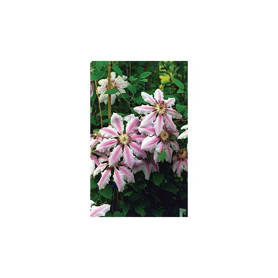 CLEMATITES x 'Nelly Moser'