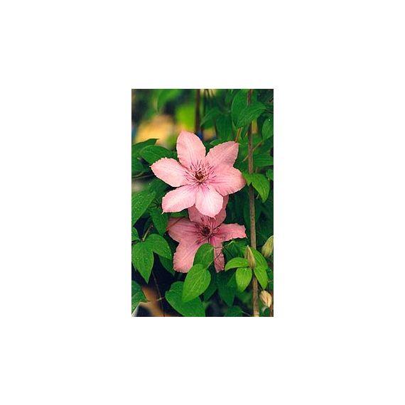 x 'Hagley Hybrid' (Pink Chiffon)