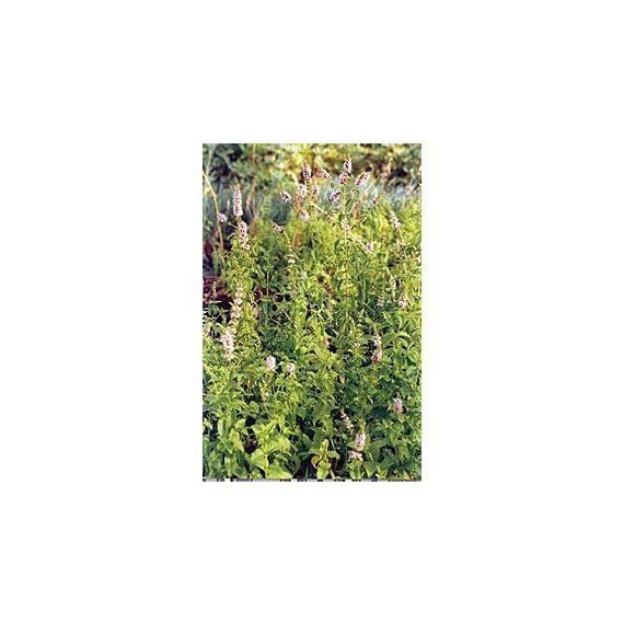 Menthe poivrée ( Mentha x piperita)