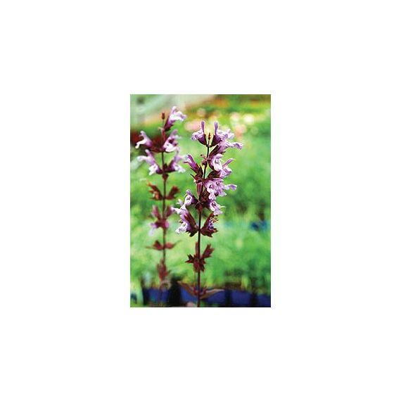 Sauge pourpre (Salvia officinalis 'Purpurea')