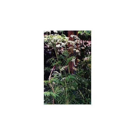 Valeriane (Valeriana officinalis)