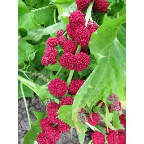 Épinard fraise (Chenopodium capitalum)