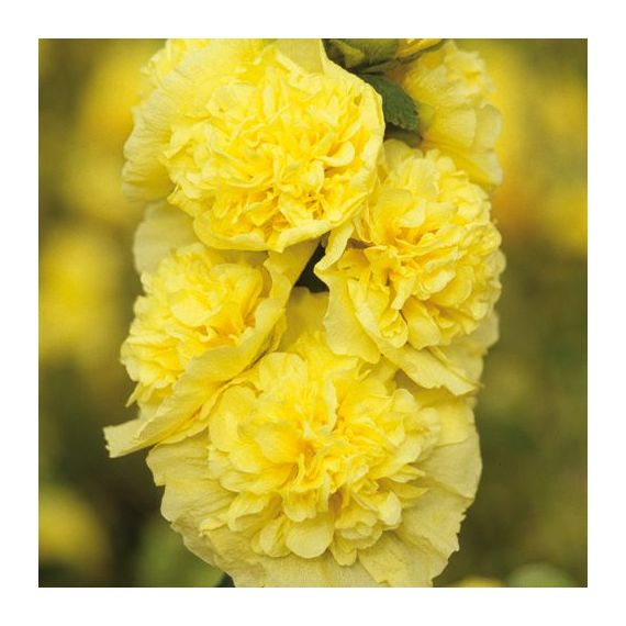 ALCEA x 'Chater's Double' jaune