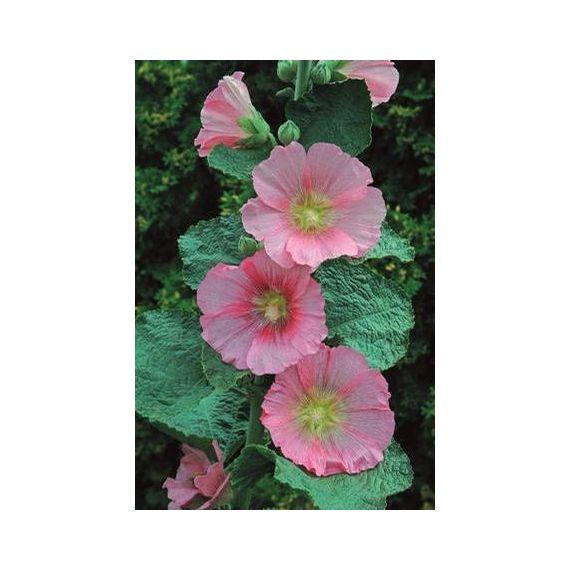 ALCEA rosea 'Radiant Rose'