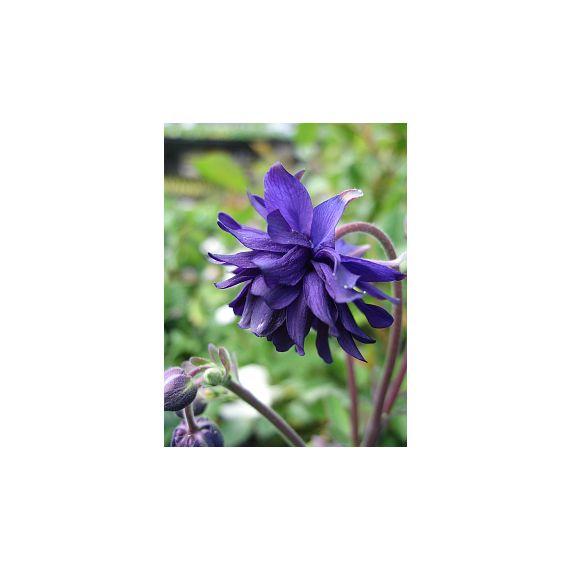 AQUILEGIA vulgaris x 'Blue Barlow'