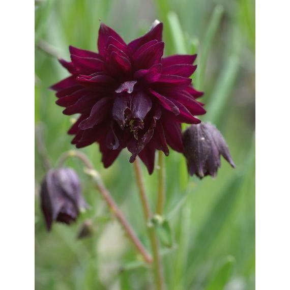 AQUILEGIA vulgaris x 'Black Barlow'