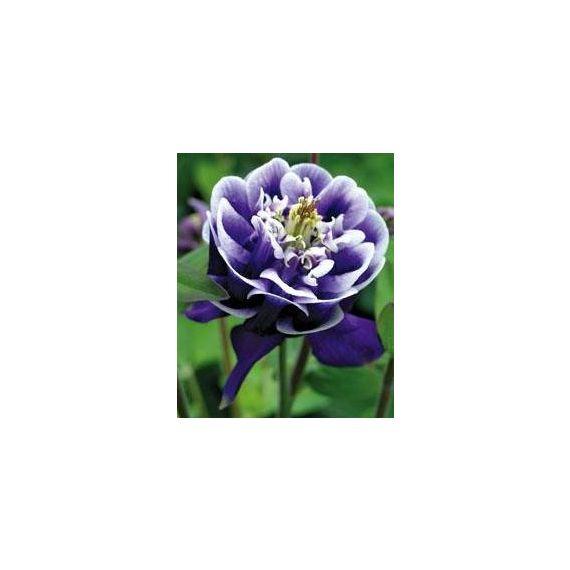 AQUILEGIA vulgaris 'Winky Double Blue & White'