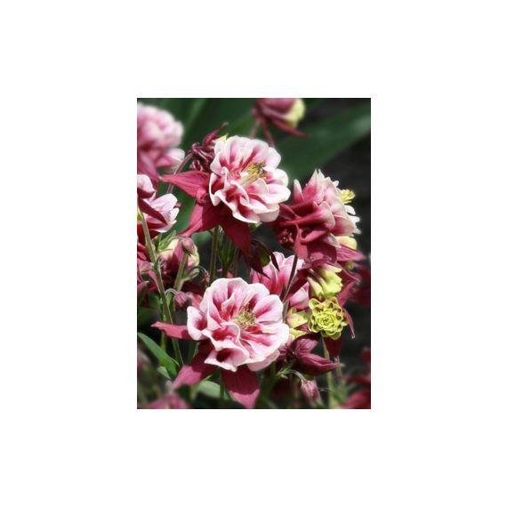 AQUILEGIA vulgaris 'Winky Double Red & White'