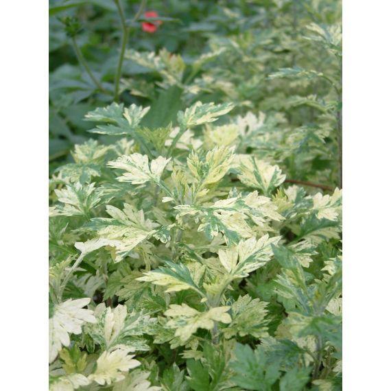 ARTEMISIA vulgaris Oriental 'Limelight'