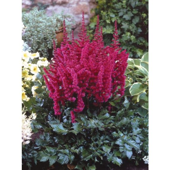 ASTILBE chinensis 'Visions in Red'