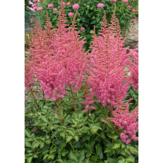 ASTILBE chinensis 'Rise and Shine'