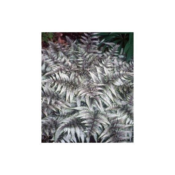 ATHYRIUM niponicum 'Pictum' (Metalicum)