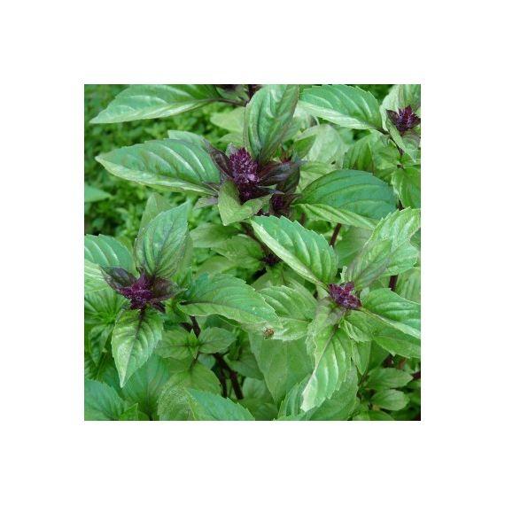 """Basilic cannelle (Ocimum basilicum """"Canelle"""")"""