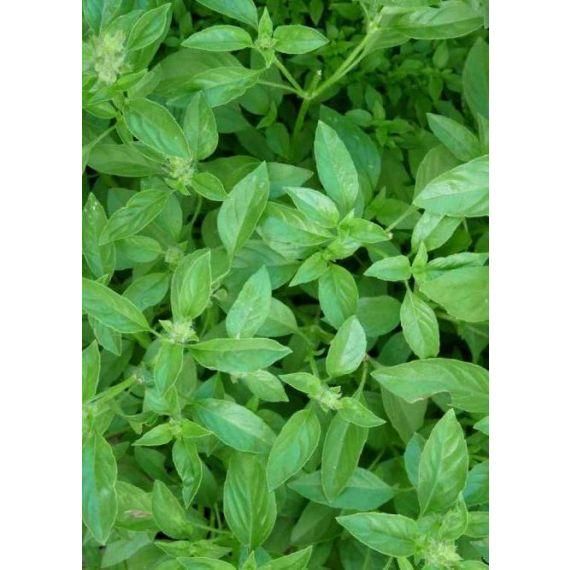 Basilic citron (Ocimum basilicum citriodirum)