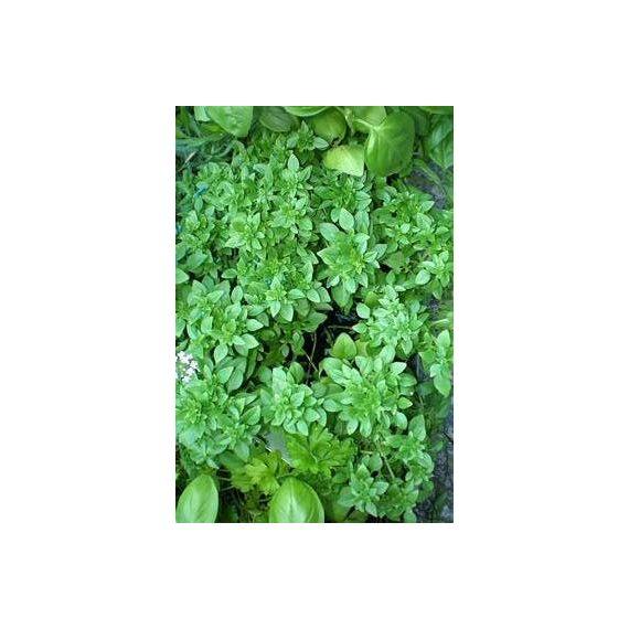 Basilic à petites feuilles (Ocimum basilicum)