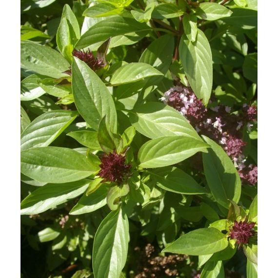 Basilic Thaï (Ocimum basilicum Thaï)
