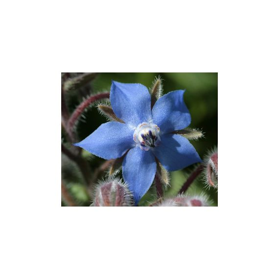 Bourrache (Borago officinalis)