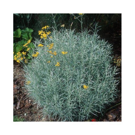 Cari (Helichrysum 'Italicum')