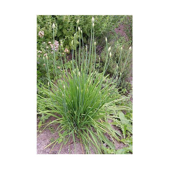 Ciboulette à l'ail (Allium tuberosum)
