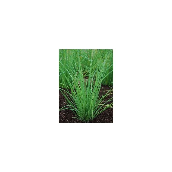 Ciboulette Nelly (Allium schoenoprasum)