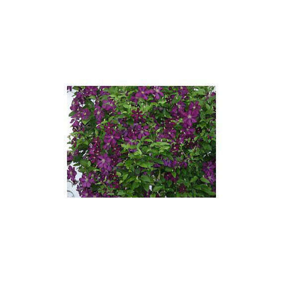 CLEMATITES vitticella 'Étoile Violette'