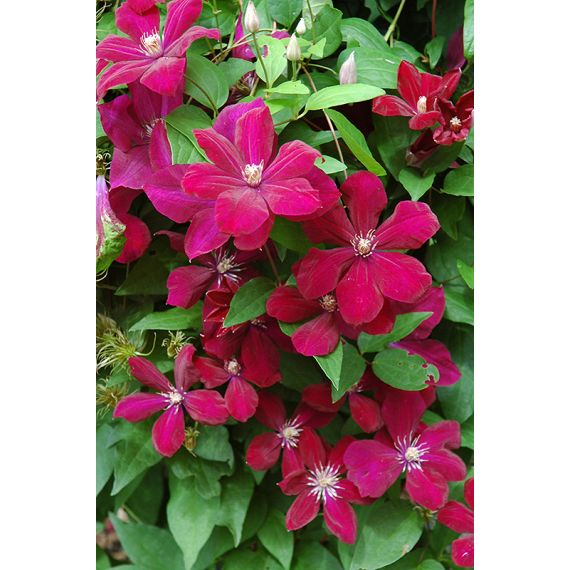 CLEMATITES x 'Rouge Cardinal'