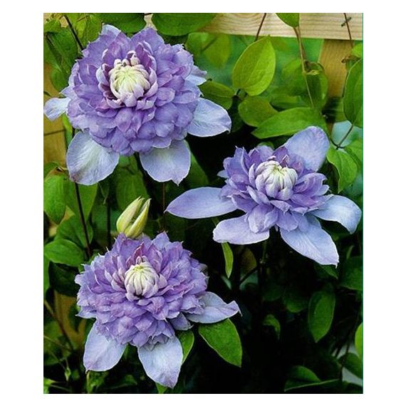 CLEMATITES  x 'Blue Light'
