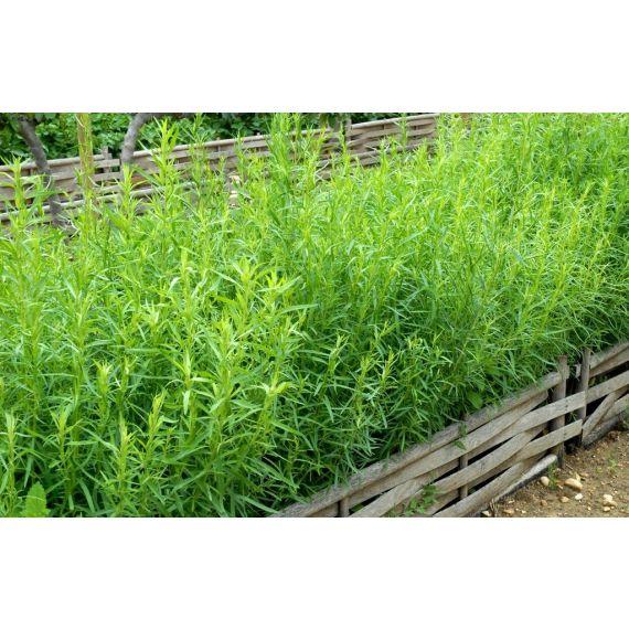 Estragon français (Artemisia drac. 'Sativa')