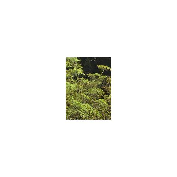 Fenouil amer (Foeniculum vulgare)