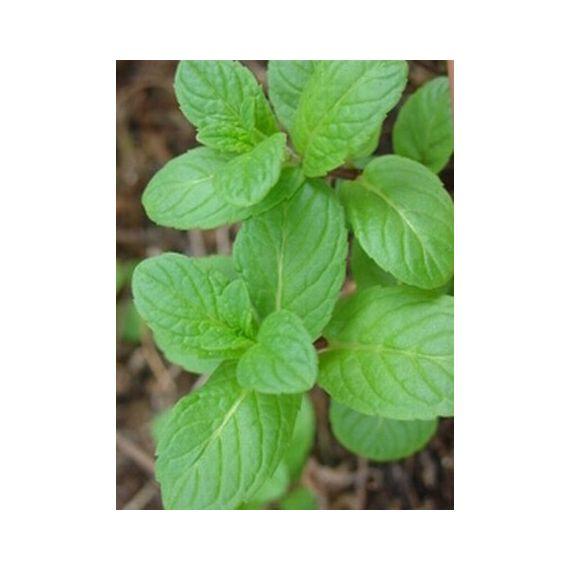 Menthe verte (Mentha spicata)