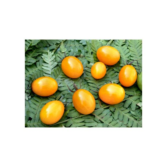 Tomate cerise Golden Tom Boy (jaune)