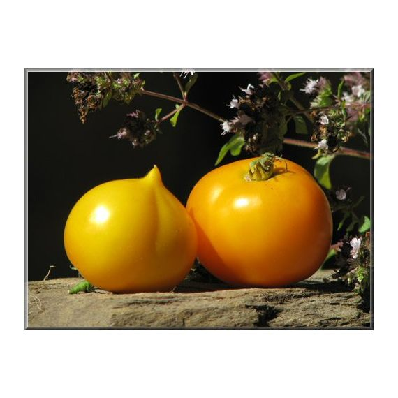 Tomate Hyb. Goldmine (jaune)