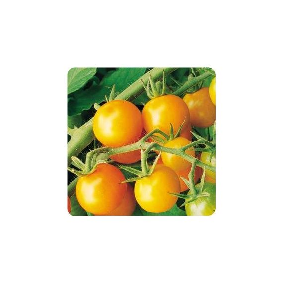 Tomate 'SWEET GOLD'