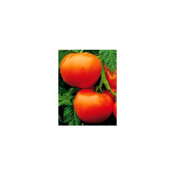 Tomate Fantastique (rouge)